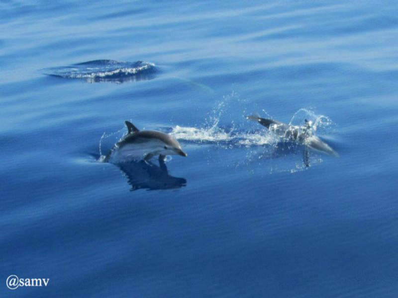 AMV_dauphins_392971s