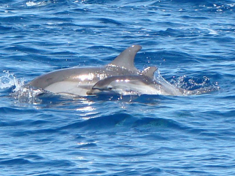 dauphins_bleu_blanc_s
